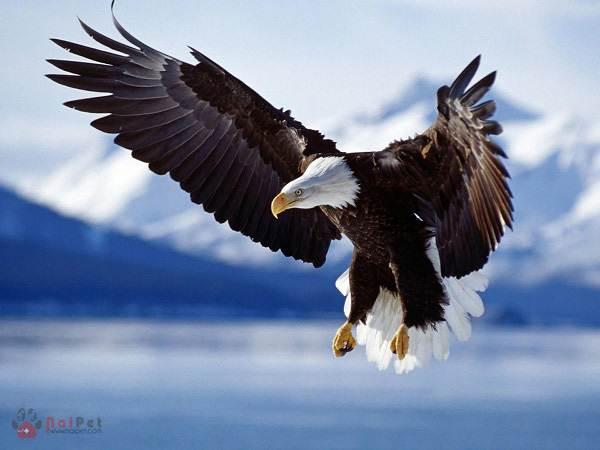 mơ thấy chim đại bàng