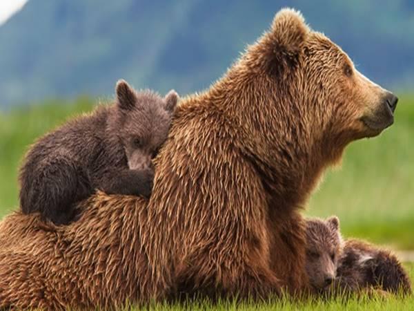 Mơ thấy gấu là điềm báo tốt hay xấu?