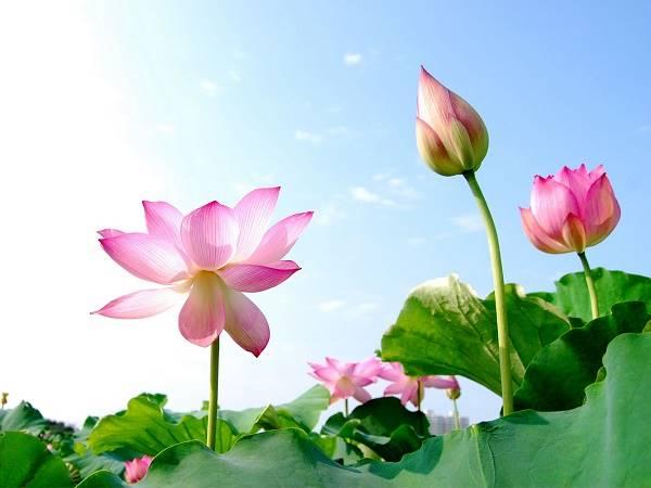 Nằm mơ thấy hoa sen là điềm gì? Đánh lô đề con nào?