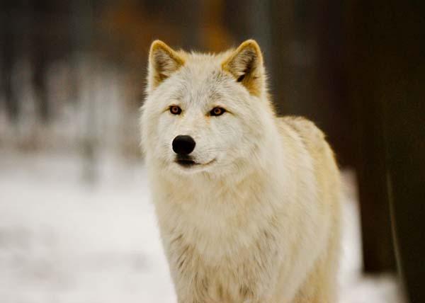 Nằm mơ thấy con chó sói đem lại điềm báo ý nghĩa gì?
